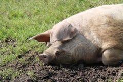 Cabeça de um porco de Galês Imagem de Stock