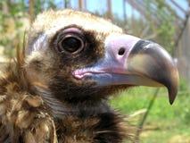 Cabeça de uma águia Fotografia de Stock Royalty Free