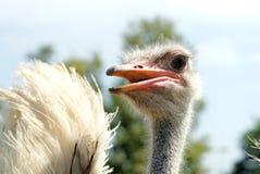 Cabeça de uma avestruz Fotografia de Stock Royalty Free