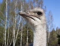 Cabeça de uma avestruz imagens de stock royalty free