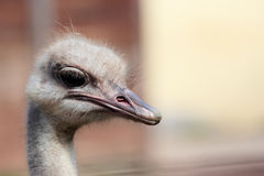 Cabeça de uma avestruz (camelus do Struthio) Fotos de Stock