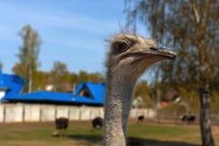 A cabeça de uma avestruz no fundo de um rancho ou de uma exploração agrícola da avestruz foto de stock royalty free