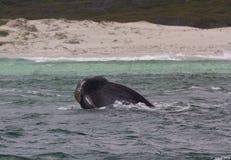 Cabeça de uma baleia direita do sul que olha com interesse, Hermanus, cabo ocidental África do Sul fotos de stock