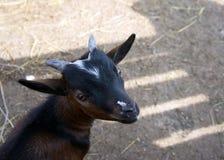 A cabeça de uma cabra pequena preta no fundo de uma sombra Fotos de Stock