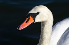 Cabeça de uma cisne Imagens de Stock Royalty Free