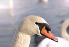 Cabeça de uma cisne branca do pássaro imagem de stock