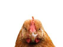 A cabeça de uma galinha é close-up Fotos de Stock Royalty Free