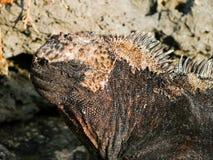 Cabeça de uma iguana marinha imagem de stock
