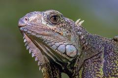 Cabeça de uma iguana verde que enfrenta o oeste imagens de stock