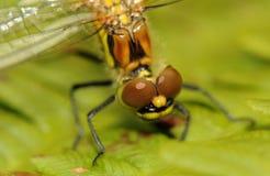 Cabeça de uma libélula imagens de stock royalty free