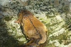 A cabeça de uma serpente do pitão Foto de Stock
