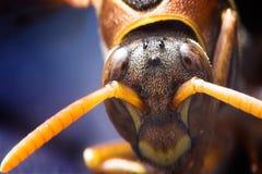 Cabeça de uma vespa Fotografia de Stock Royalty Free