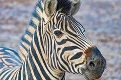 Cabeça de uma zebra Fotos de Stock