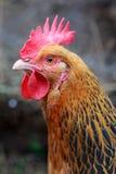 Cabeça disparada da galinha fotos de stock royalty free