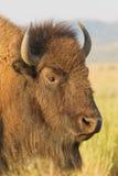 Cabeça do bisonte Foto de Stock
