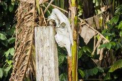 Cabeça do boi pendurada foto de stock