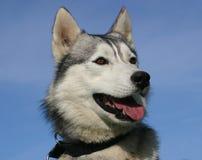Cabeça do cão de puxar trenós Fotos de Stock Royalty Free