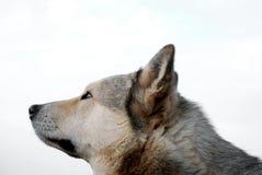 Cabeça do cão de puxar trenós foto de stock