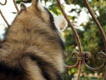 Cabeça do cão de puxar trenós Siberian Vista traseira estilo de vida com cão Imagem de Stock