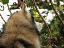 Cabeça do cão de puxar trenós Siberian Vista traseira estilo de vida com cão Fotografia de Stock Royalty Free