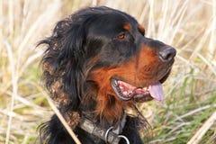 Cabeça do cão do setter Fotografia de Stock