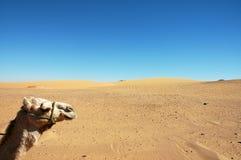 Cabeça do camelo Fotos de Stock