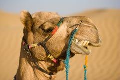 Cabeça do camelo Fotografia de Stock Royalty Free