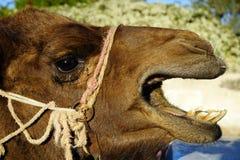 Cabeça do camelo Imagens de Stock Royalty Free