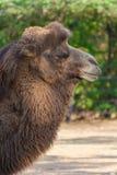 Cabeça do camelo Fotografia de Stock