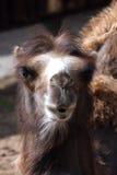 Cabeça do camelo Foto de Stock Royalty Free