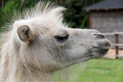 Cabeça do camelo Imagem de Stock Royalty Free