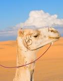Cabeça do camelo branco Fotografia de Stock Royalty Free