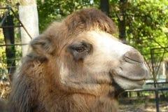 Cabeça do camelo com um olhar atento imagens de stock royalty free