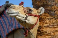 Cabeça do camelo de montada domesticado dromedário amarrado acima com corrente do metal imagens de stock