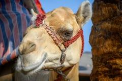 Cabeça do camelo de montada domesticado dromedário amarrado acima com corrente do metal imagens de stock royalty free