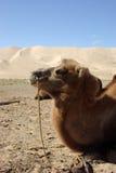 Cabeça do camelo em Mongolia Fotos de Stock Royalty Free