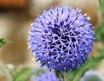 Cabeça do cardo azul Imagem de Stock Royalty Free