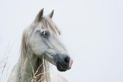 Cabeça do cavalo branco Imagem de Stock