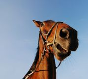 Cabeça do cavalo com céu azul Imagens de Stock