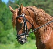 Cabeça do cavalo de louro Fotografia de Stock