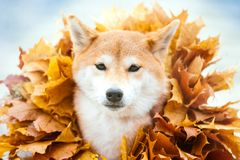 Cabeça do close up do cão de Shiba Inu nas folhas de outono douradas imagens de stock