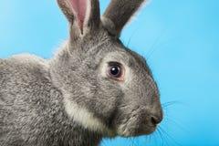 Cabeça do coelho Fotos de Stock