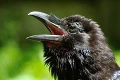 Cabeça do corvo Fotografia de Stock