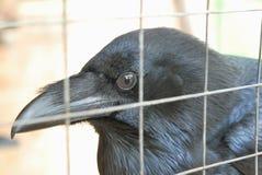 Cabeça do corvo Imagens de Stock Royalty Free