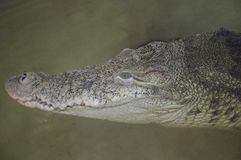 Cabeça do crocodilo Tendência do fundo da textura superior dos répteis fotos de stock