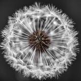Cabeça do dente-de-leão com sementes fotografia de stock royalty free