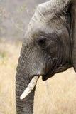 Cabeça do elefante Foto de Stock Royalty Free