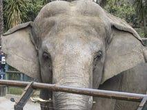 Cabeça do elefante fotografia de stock royalty free