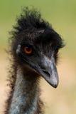 Cabeça do Emu, Austrália Fotografia de Stock