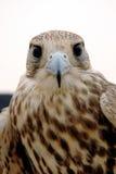 Cabeça do falcão foto de stock